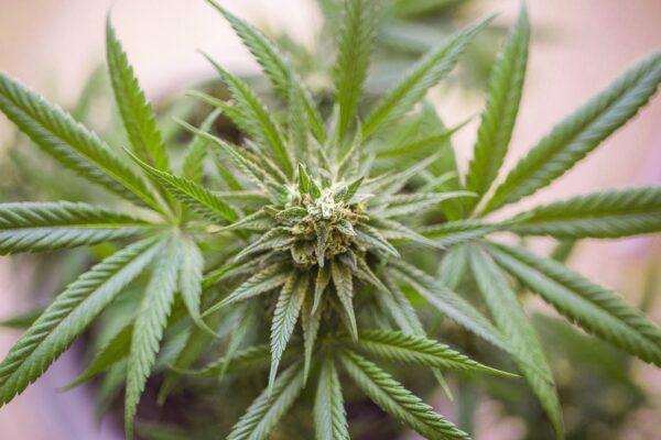 medicinal cannabis australia